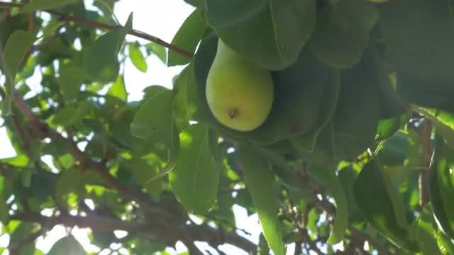 Hand Picking Pear From Tree: Stock Video