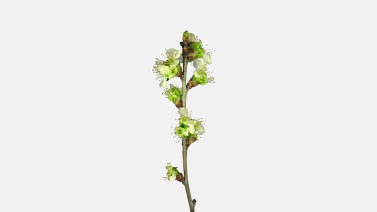 Plum Tree Branch Blooming: Stock Video