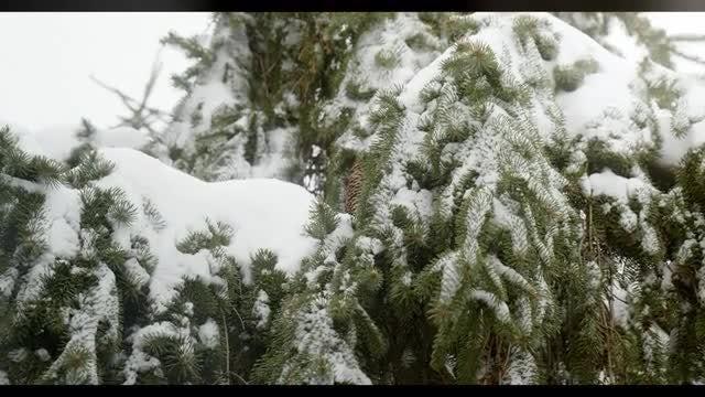 Evergreen & Snow: Stock Video