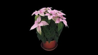 Pink Poinsettia Christmas Flower Growing: Stock Video