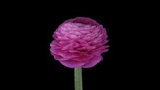 A Pink Ranunculus Flower Opening : Stock Video