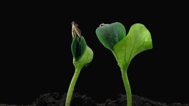 Pumpkin Seeds Germinating: Stock Video
