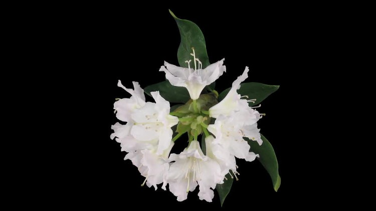 White Rhododendron Flowers: Stock Video