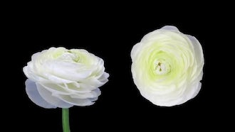 Ranunculus Flowers Opening And Closing : Stock Video