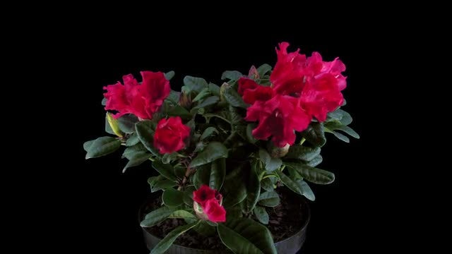 Red Rhododendron Flowers: Stock Video