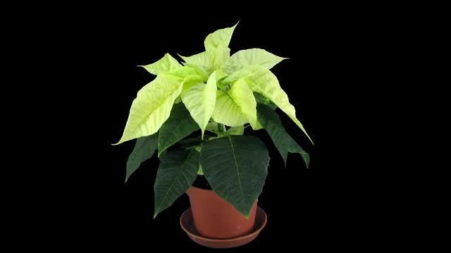 Yellow Poinsettia Christmas Flower: Stock Video