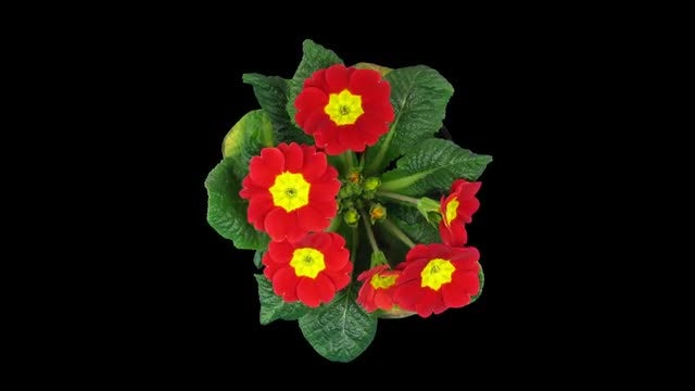 Red-Yellow Primula Primasan Flower : Stock Video