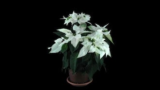 White Poinsettia Christmas Flower: Stock Video
