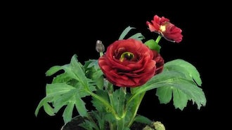 Red Ranunculus Flowers Opening: Stock Video