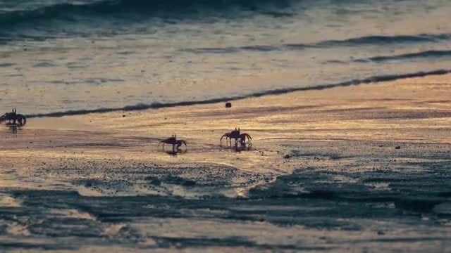 Beach Crabs Ocean Waves: Stock Video
