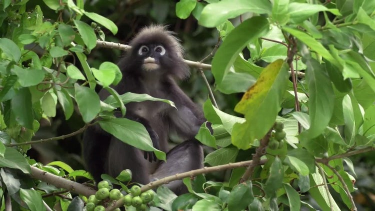 Monkey In Tree Eating Leaves: Stock Video