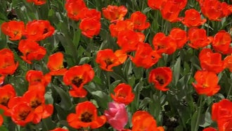Top View Of Red Tulips : Stock Video