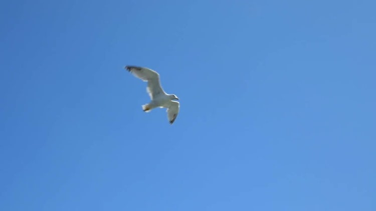 A White Seagull Flying : Stock Video