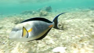 Sohal Surgeonfish In Red Sea: Stock Video