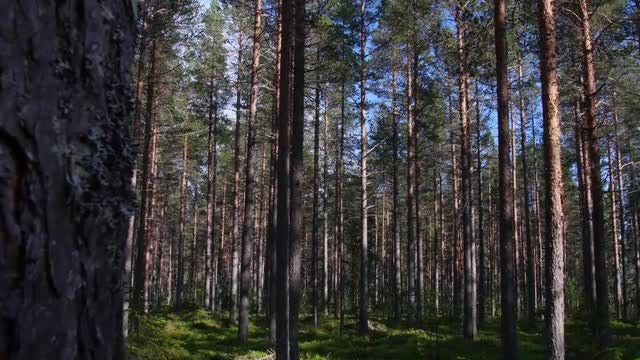 Pine Tree Forest  In Sweden: Stock Video