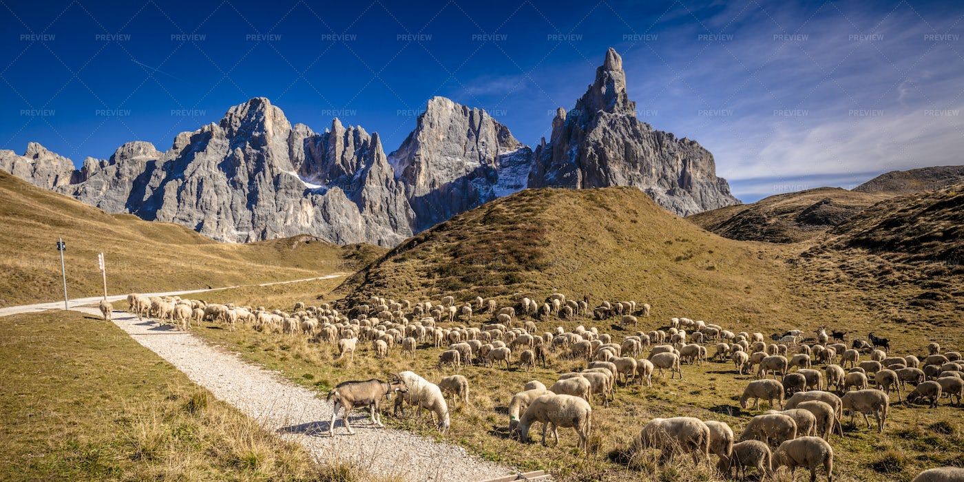 Sheeps In Passo Rolle: Stock Photos