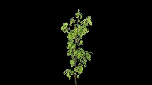 Growing Red Currant Branch: Stock Video