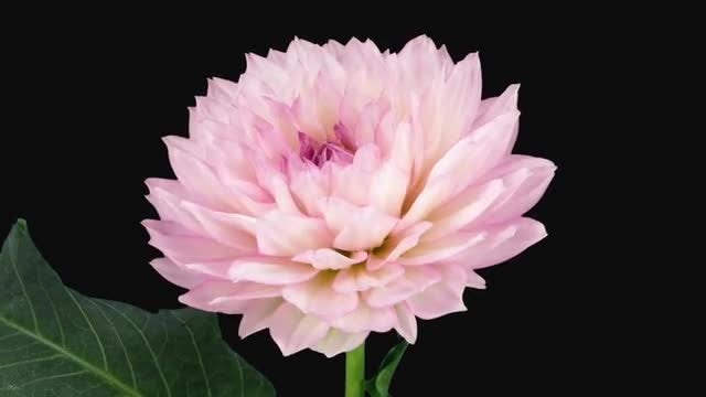 Blooming Pink Dahlia Flower: Stock Video