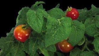 Ripening Tomato Vegetables: Stock Video