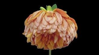 Dying Orange Dahlia Flower: Stock Video