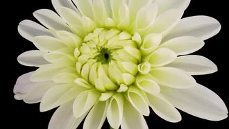 Blooming White Dahlia Flower: Stock Video