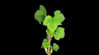A Black Currant Branch Blooming: Stock Video