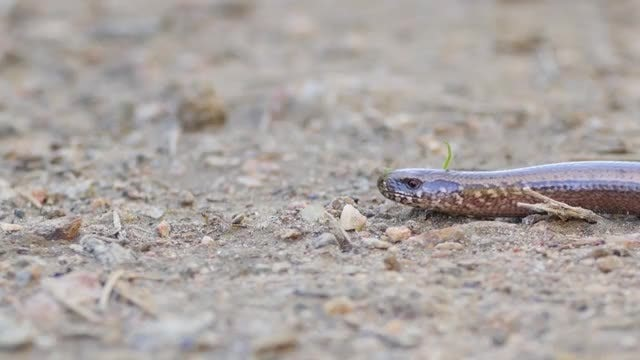 Slow Worm In Nature Closeup: Stock Video