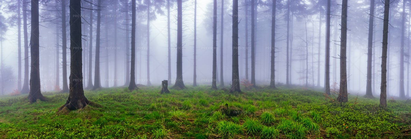 Spring Spruce Forest: Stock Photos