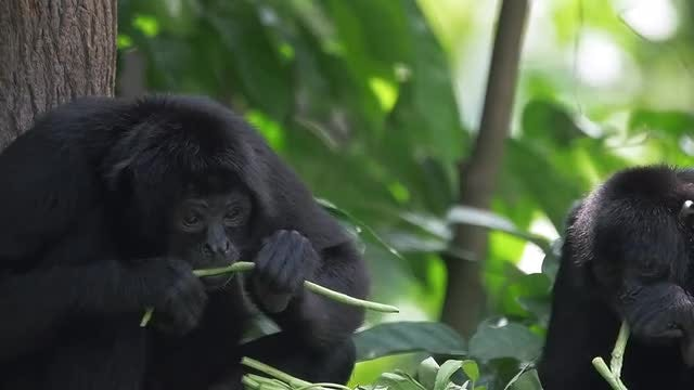 Wildlife - Spider Monkeys Eating: Stock Video
