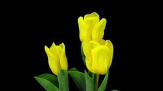 Yellow Tulips Growing And Opening : Stock Video