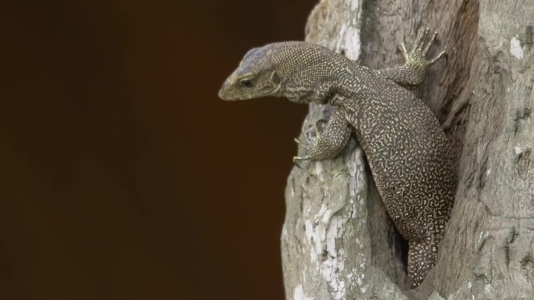 Monitor Lizard Reptile Wildlife Asia: Stock Video