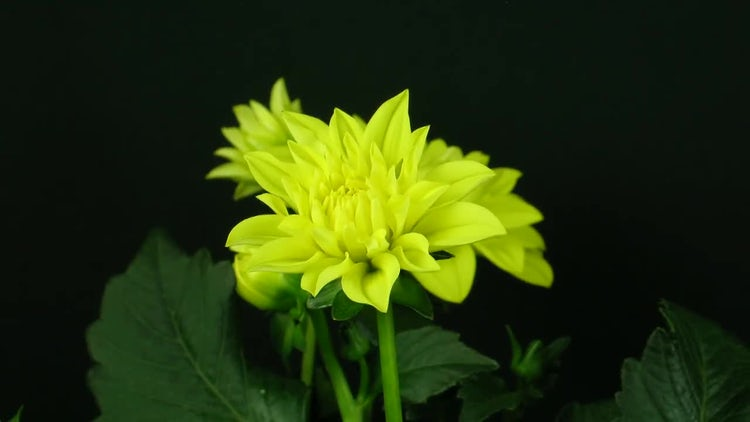 Yellow Dahlia Flower Opening: Stock Video