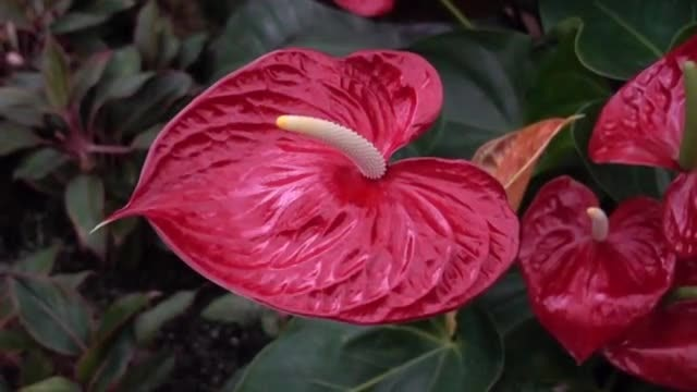 Red Anthurium Slow Panning : Stock Video