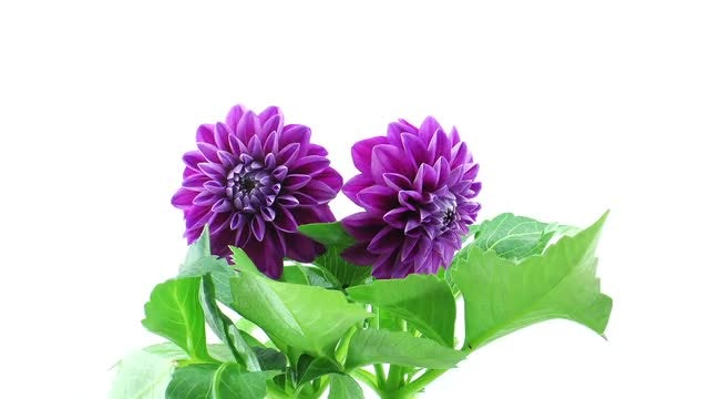 Purple Dahlia Flowers Blooming : Stock Video