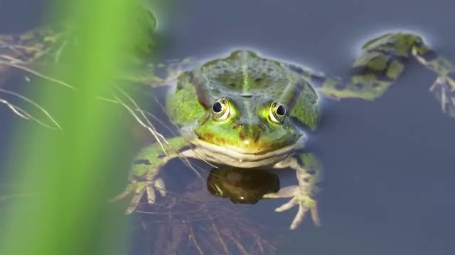 Green Frog In Water: Stock Video