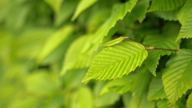 Green Leaves Nature Closeup: Stock Video