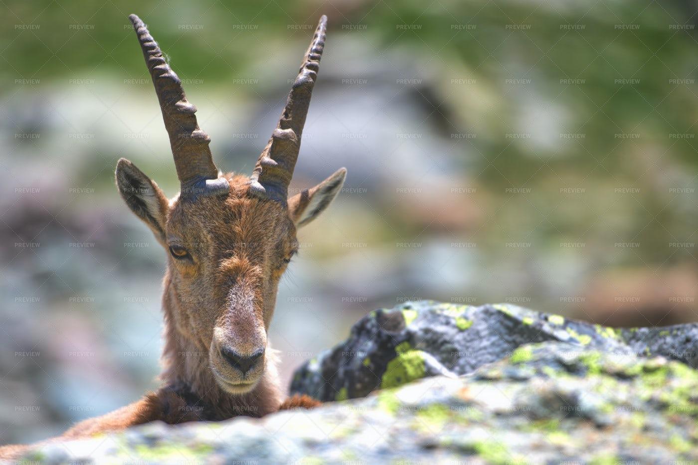 Female Ibex: Stock Photos