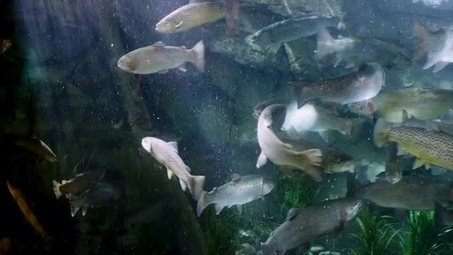 Trout Fish Tank: Stock Video