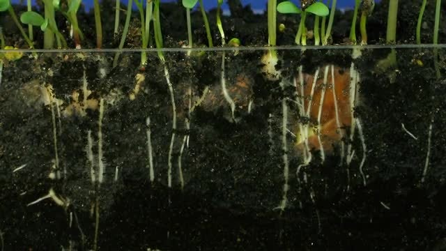 Growing Vegetables Above And Below : Stock Video