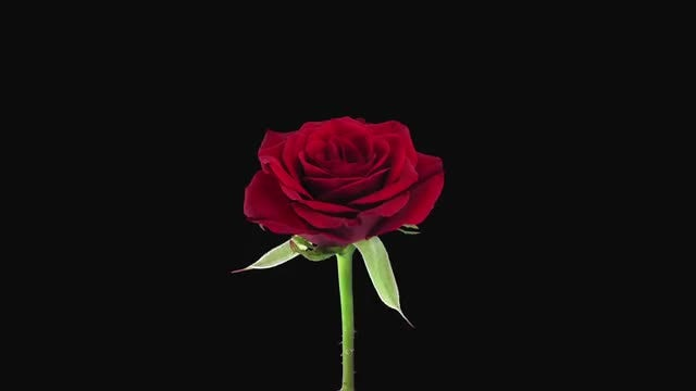 Red Valentino Rose Flower Dying: Stock Video