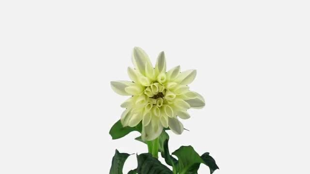A White Dahlia Flower Opening : Stock Video