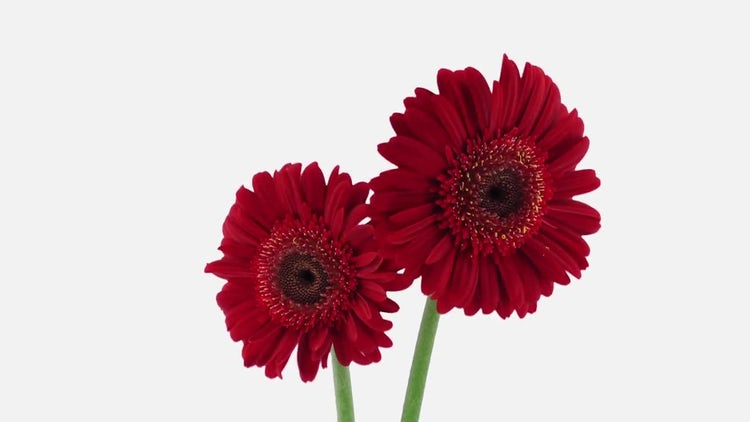 Red Gerbera Flowers Opening : Stock Video
