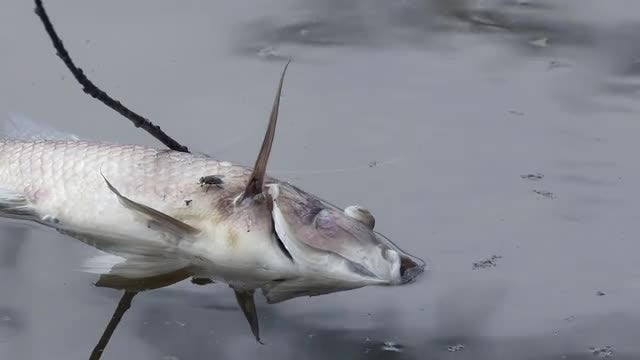 Dead Fish From Water Pollution: Stock Video