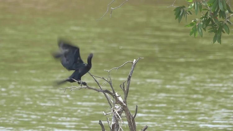 Cormorant Bird Flying In Slow Motion: Stock Video