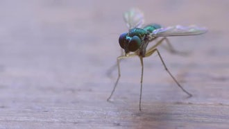 Small Fly Close Up: Stock Video