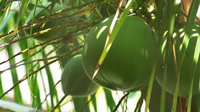 Coconuts In Palm Tree: Stock Video