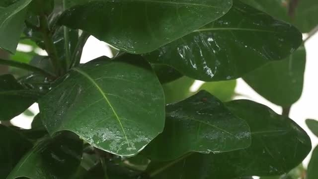 Tropical Rain On Leaves 4k: Stock Video