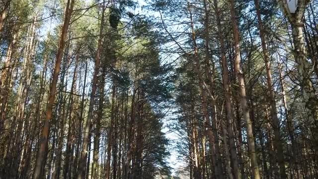 Welcoming Pine Trees: Stock Video