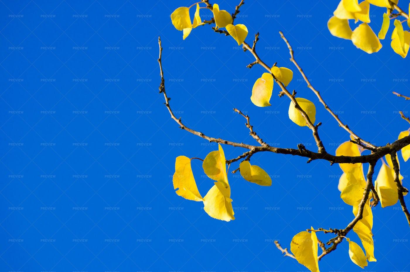 Yellow Autumn Leaves: Stock Photos