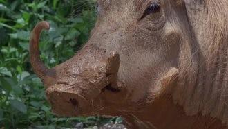 Warthog Close Up: Stock Video